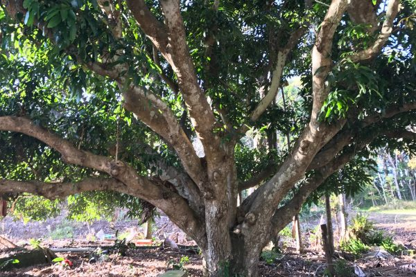 The old mango tree