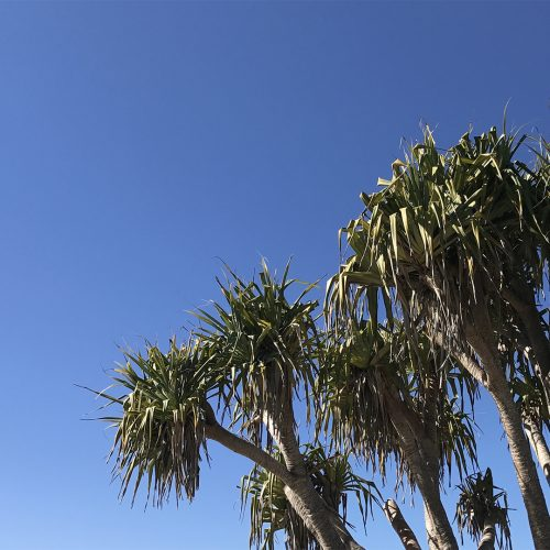 Pandanus Palms at Belongil