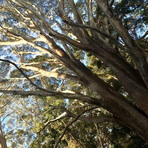 Gum Tree near Native Bee Hive