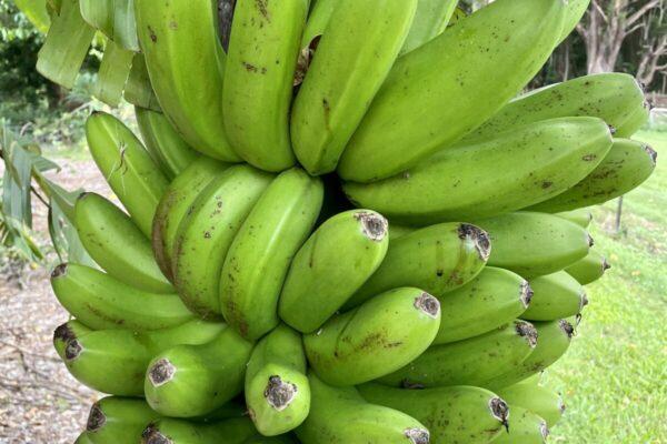 Five varieties of bananas grown
